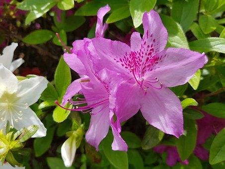 Flowers, Beautiful, Spring Flowers, Nature, Azalea