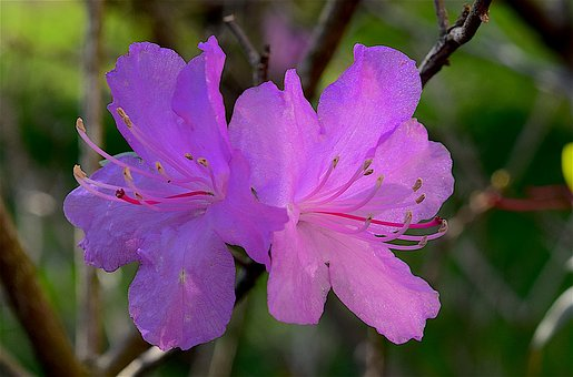 Flower, Azalea, Spring, Bloom, Pink, Nature, Blossom
