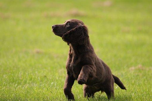Puppy, Cocker, Spaniel, Dog, Pet, Animal, Canine, Cute