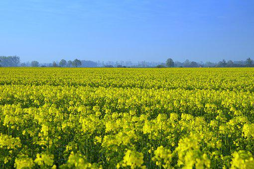 Rapeseed, Field, Yellow, Spring, Agriculture, Oil