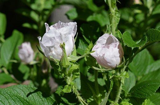 Pale Pink Roses, Rugosa Rose, Flower, Blossom, Bloom