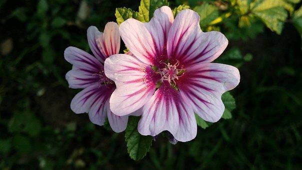 Malva, Flower, Nature, Blossom, Garden, Floral, Plant
