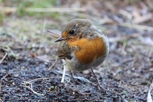 Robin, Bird, Spring, Close, Garden, Nature, Songbird