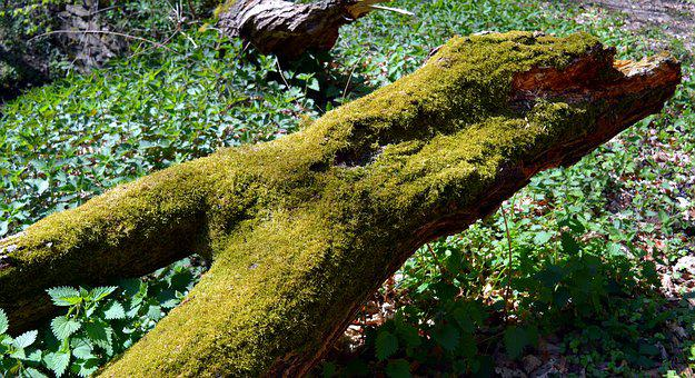Log, Tree, Green, Tribe, Rot, Lazy, Die Off, Moss, Like