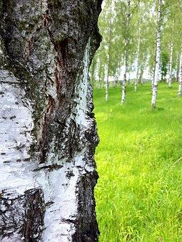 Birch, Bark, Tribe, Log, Tree Bark, Birch Trunk