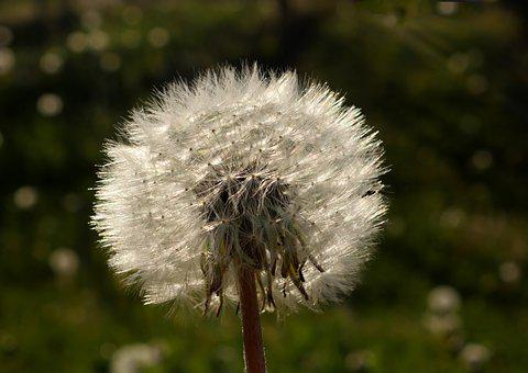 Dandelion, Close, Nature, Flower, Common Dandelion