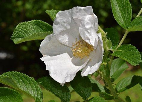 White Rose, Rugosa Rose, Flower, Blossom, Bloom, Nature