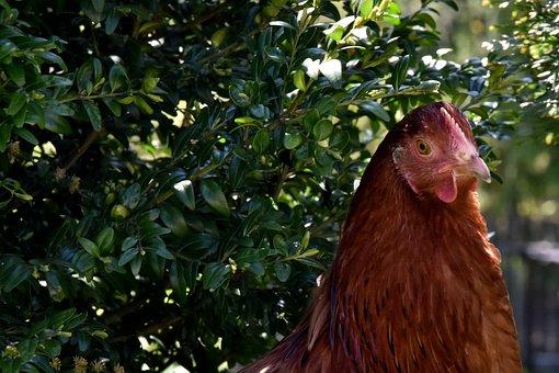 The Hen, Chicken, Village, Bird, Pen, Animal, Poultry