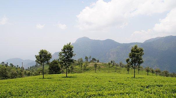 Tea Garden, Nature, Plantation, Tea, Garden, Green