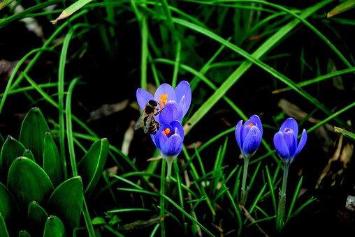 Bee, Crocus, Blossom, Bloom, Blue, Pollination, Close