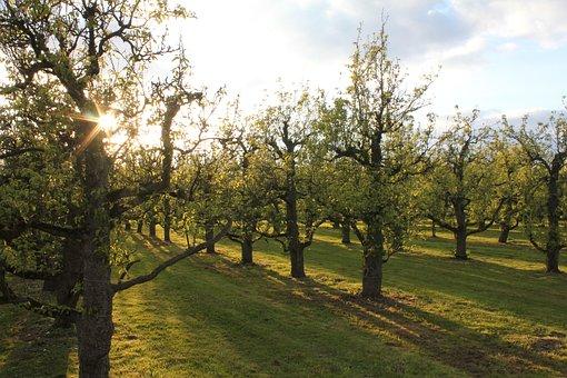 Orchard, Sun, Shadow