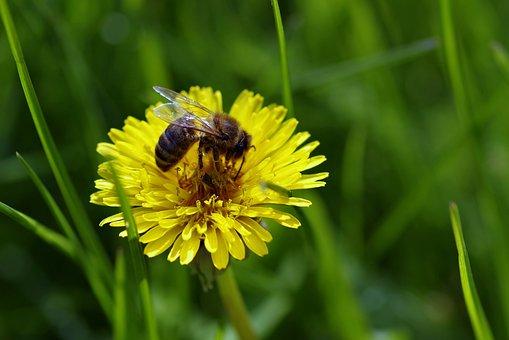 Bee, Flower, Dandelion, Sonchus Oleraceus, Yellow