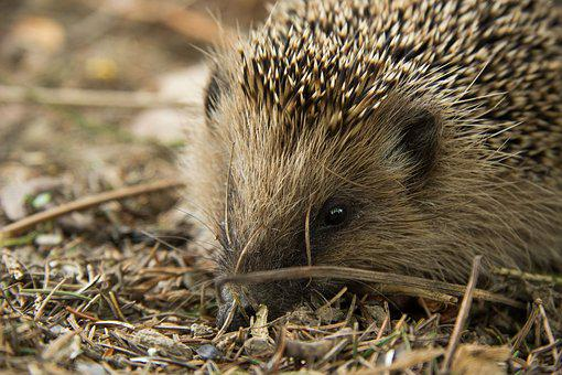 Hedgehog, Animal, Forest, Spur, Cute, Hannah, Nature
