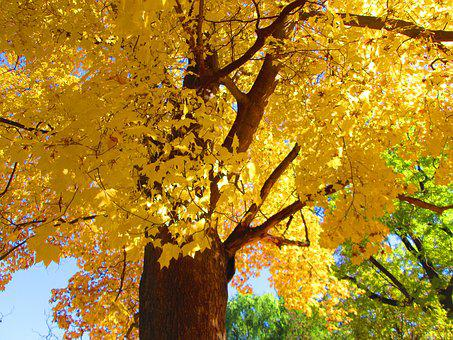 The Crown Of The Tree, Yellow Leaves, Sky, Autumn