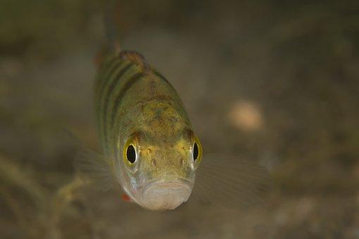 Perch, Fish, Freshwater Fish, Underwater