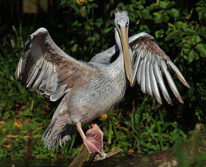 Pelican, Stretch, Bird, Wing Span, Wing, Feathers, Beak