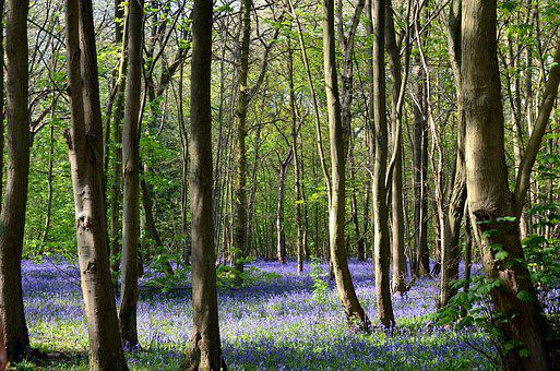 Bluebell Woods, Rufford Park, England, Woods, Forest