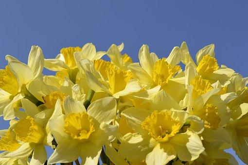 Flower, Daffodil, Bulbous Plant, Spring, Spring Flowers