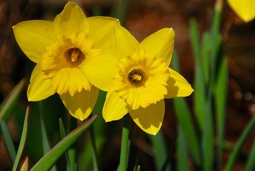 Flowers, Daffodil, Yellow, Green, Spring, Bloom, Season