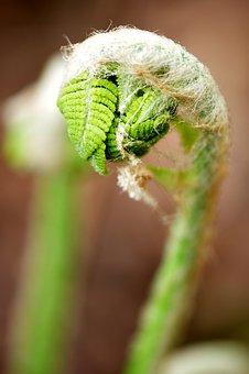 Ferns, Fiddle, Fern, Forest, Wild, Spring, Macro, Curl