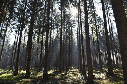 Trees, Forest, Sun Rays, Nature, Tree, Sunlight