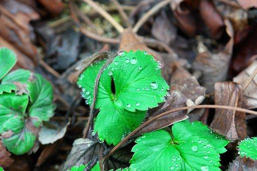 Strawberry, Strawberry Leaf, Herb, Leaf