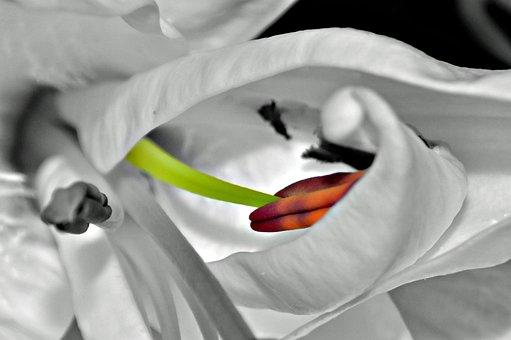 Lily, Stamen, Color Burst, Colour Burst, Macro, Flower