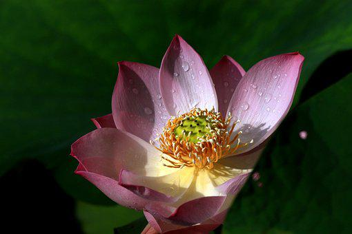 Dutch, Lotus, Plant, Flowers And Plants, Buddhism, Mein