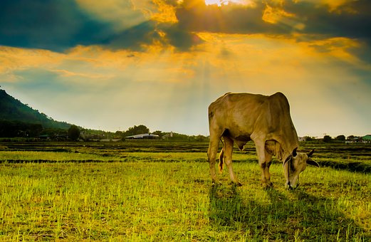 Cow, Animal, Eating Grass, Field, Outdoors, Cattle