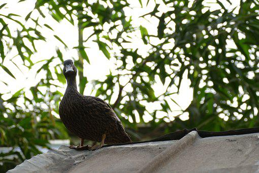 Duck, Waiting, For, Pictures