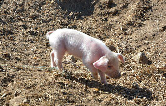 Piglet, Pork, Pig, France, Animal, Breeding, Animals