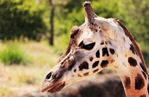Giraffe, Animal, Mammal, Spotted, Zoo, Neck, Close