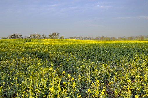 Rapeseed, Field, Agriculture, Yellow, Flowers