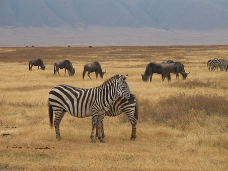 Zebra Safari, Ngorongoro, Nature, Safari, Travel, Park