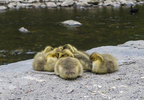 Duck, Ducklings, Baby, Cute, Beak, Animal, Young
