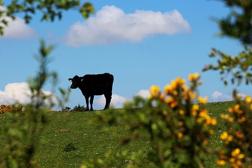Cow, Country, Silhouette, Farmland, Animal, Natural