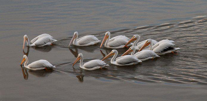 Pelican, White, Water, Nature, Wildlife, Bird