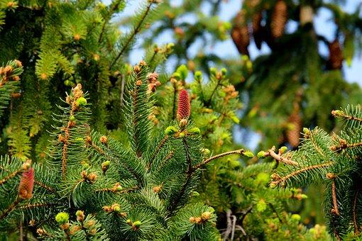 Fir, Christmas Tree, Tree, Nature, Fir Needle
