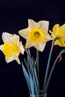 Daffodils, Flowers, Yellow, Yellow Flowers