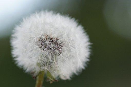 Dandelion, Flower, Close, Common Dandelion, Nature
