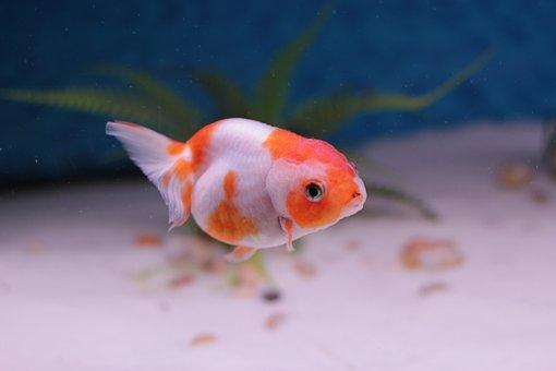 Goldfish, Lion Head, Aquarium, Freshwater, Domestic