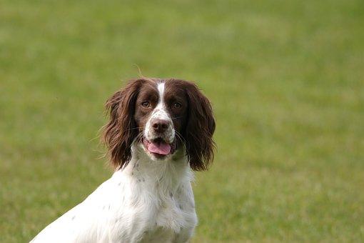Dog, Springer, Spaniel, Pet, Animal, Canine, English