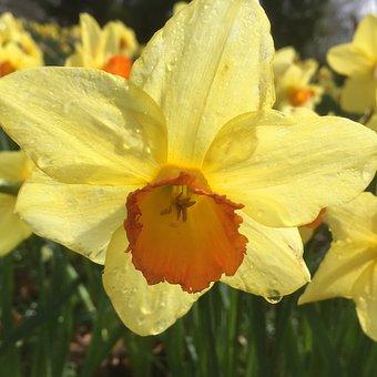 Daffodil, Flower, Raindrop