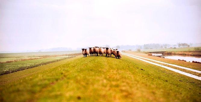 Germany, Sheep, Animals, Field, Meadow, Fog, Sunrise