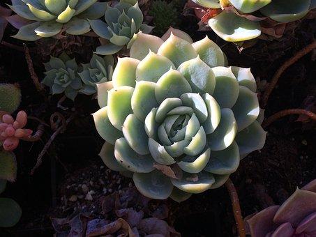 Succulent, Shadows, Plant, Nature, Fresh, Green, Desert