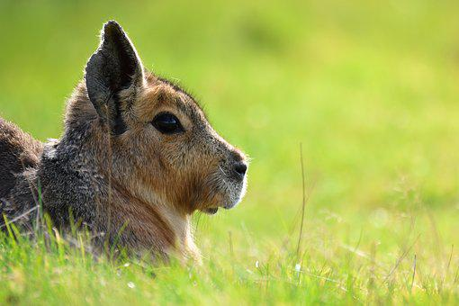 Hare, Animal, Green, Grass, Nature, Young, Wild
