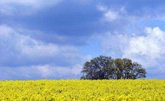 Oilseed Rape, Field Of Rapeseeds, Sky, Clouds, Blue