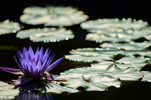 Water Lily, Waterside, Aquatic Plant, Plant, Shadow