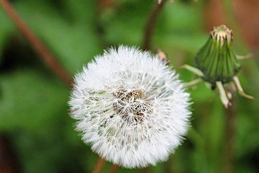 Dandelion, Wet, Drop Of Water, Nature, Rain, Flower