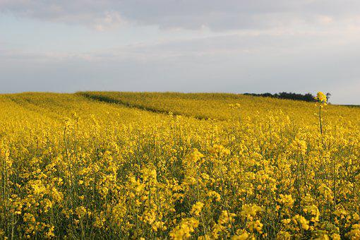Rapeseed, Plant, Yellow, Landscape, Field, Spring